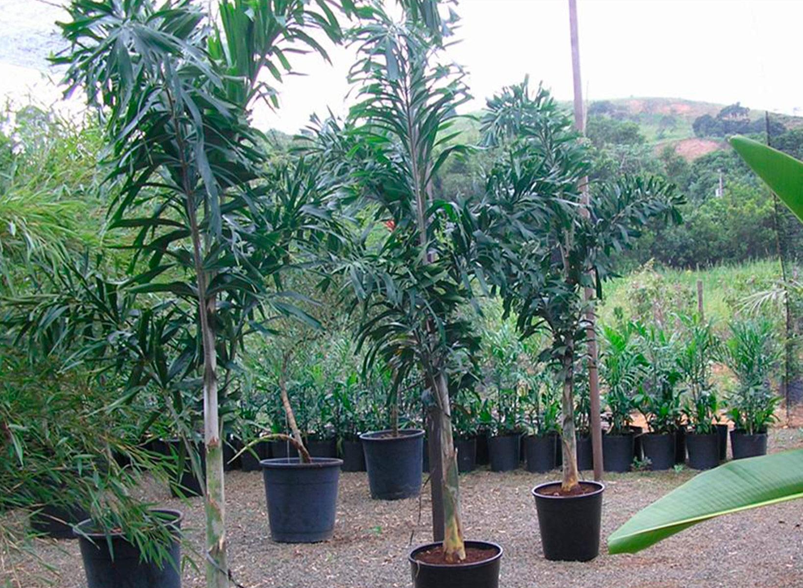 Palmeirinha de Rabo de Raposa - Wodyetia bifurcata  2bbaea4b17230